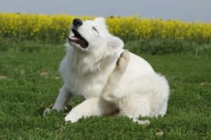 Drbající se pes