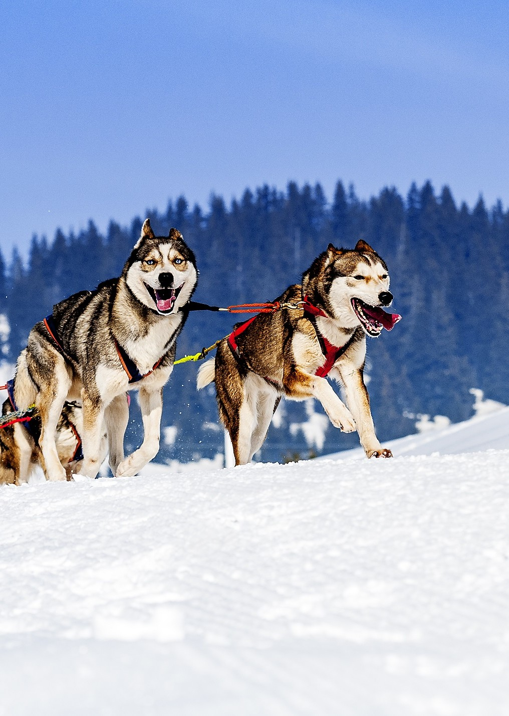 sportive dog team is running in the snow